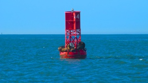 Sea Lions on Buoy #4